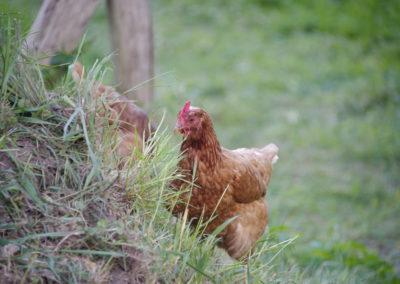 Ein Huhn unterwegs - Foto © Katharina Hansen-Gluschitz