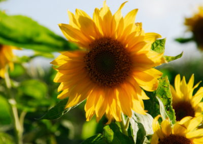 Sonnenblume in Greetsiel - Foto © Katharina Hansen-Gluschitz
